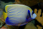 Image result for Pomacanthus imperator