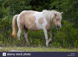 Maryland wild animals images A wild pony horse of assateague island maryland usa these jpg