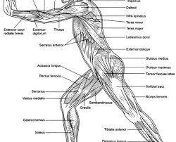 human body muscle diagram worksheet u2013 defenderauto info