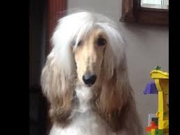 afghan hound 9 months winterberry afghan hounds afghan hound puppies for sale