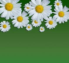 daisy flowers background free stock photo public domain pictures