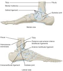 Anterior Distal Tibiofibular Ligament Anatomy Of Selected Synovial Joints