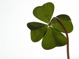not a four leaf clover shamrock is often confused with four leaf