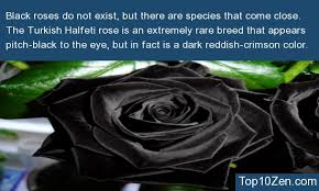 Black Roses For Sale 10 Interesting Facts About Roses To Blow Your Mind 3 Makes Me