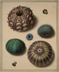 the 25 best sea urchin ideas on sea urchin shell sea