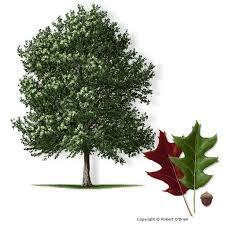 best 25 oak tree ideas on fast growing shade