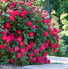 double knock out roses for sale fast growing trees
