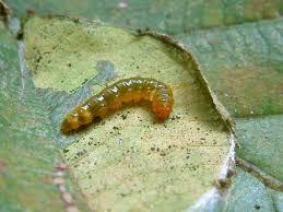 why do poisonous caterpillars jump u2013 national geographic society