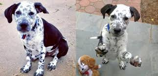 american pitbull terrier dalmatian mix 26 unreal labrador cross breeds you have to see to believe