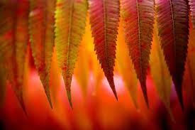 minnesota u0027s fall colors vibrant earlier