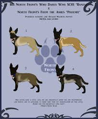 belgian malinois markings bs m l 068 527 01 belgian malinois litter by north front on