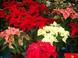 poinsettias the star of christmas alan down of cleeve nursery u0027s tips