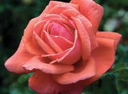 Fragrant Rose Plants - fragrant cloud star roses u0026 plants