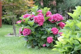 pink hydrangea 35 hydrangea garden ideas pictures