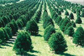 best places to get a christmas tree in st louis axs