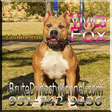 american pitbull terrier in india xl tri color bully pitbulls u0026 puppies pocket tri color bully