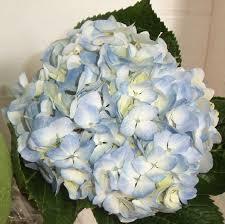 bulk hydrangeas fresh bulk premium blue hydrangea stems 1 64 to 1 74 per stem
