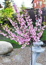 prunus triloba flowering cherry almond tree