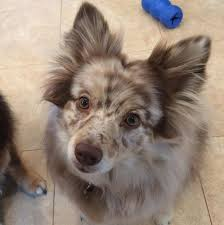 australian shepherd dachshund 19 mixed breed dogs you won u0027t believe are real