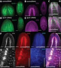 smed dyna 1 is a planarian nervous system specific dynamin 1