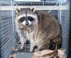 rascally raccoons wreak havoc across duke city albuquerque journal