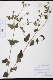 sound native plants melanthera nivea species page isb atlas of florida plants