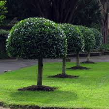 Topiary Plants Online - all our portugal laurel hedge trees come with free uk delivery