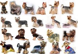 yorkshire terrier haircuts pictures yorkie haircuts for males and females 60 pictures yorkie life