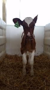 Calf Raising Barns Our New Calf Barn Mackinson Dairy Farm