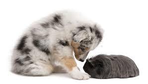 australian shepherd fur australian shepherd puppy playing with guinea pig stock images