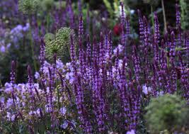 salvia a field guide to planting care and design