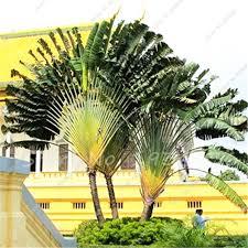 aliexpress buy 50 pcs madagascar palm tree seeds