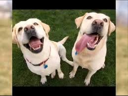 labrador retriever lab dog u0026 puppies information video animal