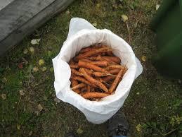 how to keep garden veggies fresh all winter the pedersen method