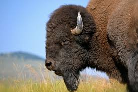 Montana wild animals images Sportsmen for bison 39 rallies hunters around tremendous restoration jpg