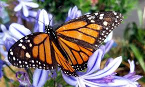monarch butterfly designs and the of attraction kbm d3signs