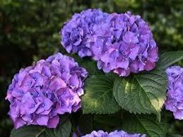 Purple Hydrangea Buy Wholesale Hydrangea Flowers Pune India Prospect Flowers