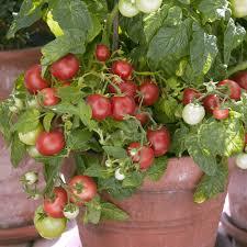 tomato u0027totem u0027 f1 hybrid thompson u0026 morgan