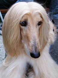 afghan hound owner reviews file afghan hound cream portrait jpg wikimedia commons