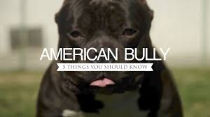 american pitbull terrier heat cycle american bully five things you should know youtube