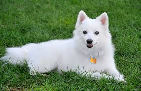 pictures of a american eskimo dog american eskimo breed history information and pictures pawculture