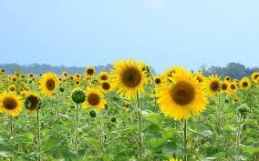 salina ks sunflower field by kansas state university informational sunflower meetings in dec morning ag clips