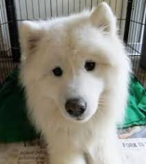 american eskimo dog winnipeg adopt kilo on other home and of