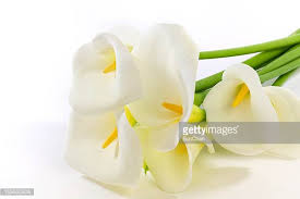 Calla Flower Calla Lily Stock Photos And Pictures Getty Images