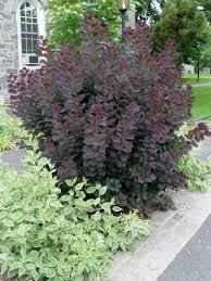 Purple Smoketree U0027royal Purple U0027 Garden Housecalls