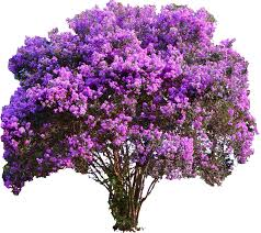 i need a crape myrtle for my yard s a garden you dig it