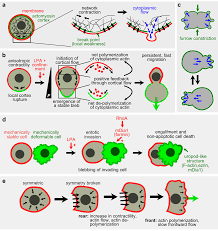 symmetry free full text cytoskeletal symmetry breaking and