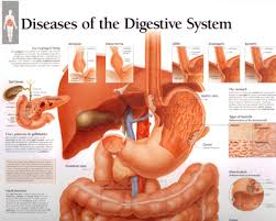 Human Anatomy Torso Diagram Human Body Organs Free Download Clip Art Free Clip Art On