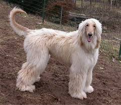 afghan hound snood afghan hound dog breed information and pictures
