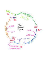 simple diagram of the calvin cycle the light independent reaction
